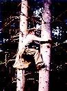 Bild - Zapfenpflücker