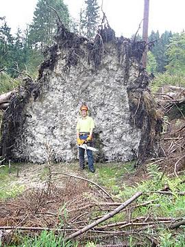 Bild - Forstarbeiter vor den Wurzeln eines umgestürzten Baums